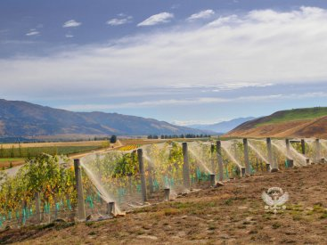 Mondillo Vineyard, Contract Growers