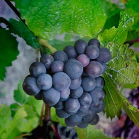Pinot Noir, Kaufman Block, Gibbston