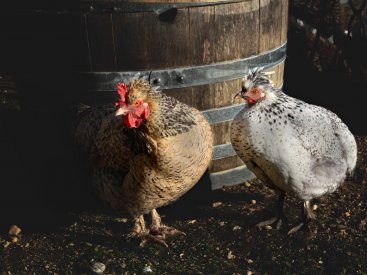 Chooks at Wormwox, Cromwell